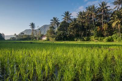 https://imgc.allpostersimages.com/img/posters/padi-field-in-lake-toba-sumatra-indonesia-southeast-asia_u-L-Q12SEN50.jpg?p=0