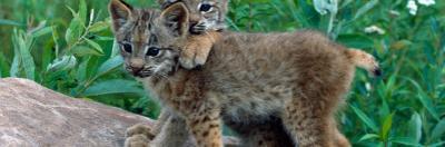 Pair of Lynx Kittens Playing on Rock, Minnesota