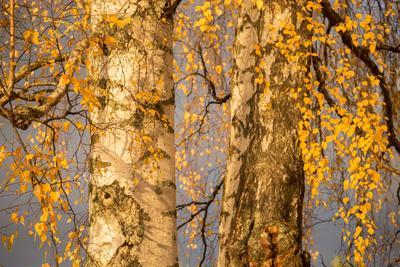 Birch tree trunks and branches with yellow leaves, blue gray sky on background