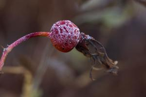 Close-up of a rose berry covered with frost by Paivi Vikstrom