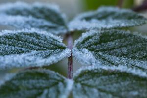 Close-up of a rose berry leaves with frost by Paivi Vikstrom