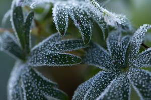 Close-up of frozen dark green plant leaves by Paivi Vikstrom