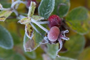 Close-up of hoarfrost covered rose bud by Paivi Vikstrom