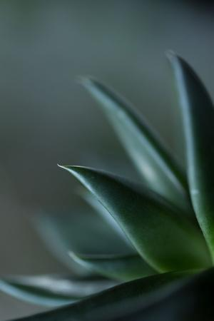 Close-up of Succulent Leaves, green color