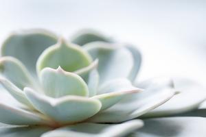 Close-up of Succulent Plant by Paivi Vikstrom