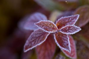 Closeup of frozen colorful leaves on a blur background by Paivi Vikstrom