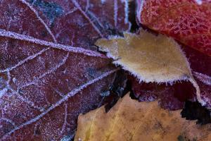 Closeup of frozen colorful leaves by Paivi Vikstrom