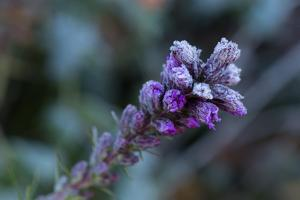 Closeup of frozen flower on a natural green blur background by Paivi Vikstrom