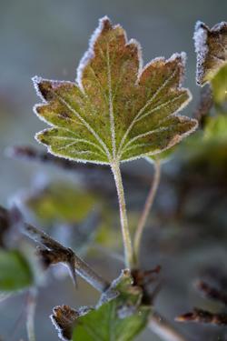 Closeup of frozen gooseberry leaf by Paivi Vikstrom
