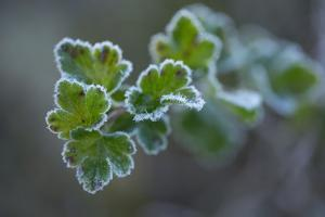 Closeup of frozen gooseberry leaves by Paivi Vikstrom