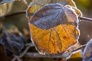 Closeup of hoarfrost dried hydrangea leaf on a blur background by Paivi Vikstrom