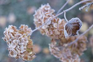 Frosty hydrangea branch on a blur background by Paivi Vikstrom