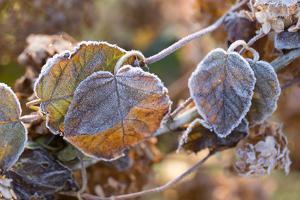 Frosty hydrangea leaves on a blur background by Paivi Vikstrom