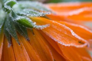 Frozen flower petals, orange marigold by Paivi Vikstrom