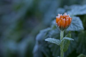 Frozen marigold flower on a natural green background by Paivi Vikstrom