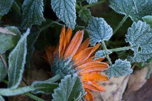 Frozen orange marigold flower with green leaves by Paivi Vikstrom