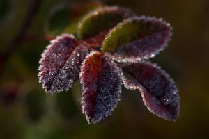 Frozen rose leaves on a dark background by Paivi Vikstrom