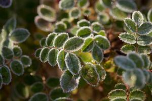 Frozen rose leaves on a sunlight by Paivi Vikstrom