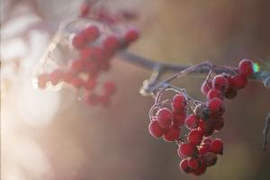 Frozen rowan red berries in sunlight backlit, blurred background by Paivi Vikstrom