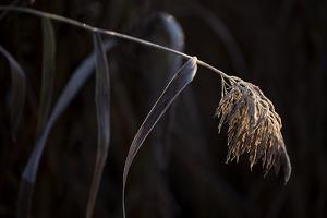 Hoarfrost crystalline on a reed, black background by Paivi Vikstrom