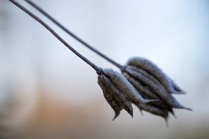 Hoarfrost crystals on dried flowers by Paivi Vikstrom