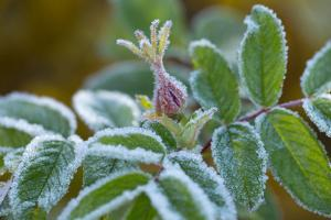 Hoarfrost on a rose bud by Paivi Vikstrom