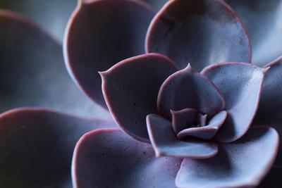 Succulent Leaves in Close-up, purple color
