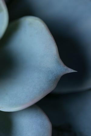 Succulent Leaves in Close-up