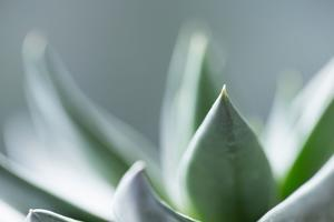 Succulent Leaves in Close-up by Paivi Vikstrom