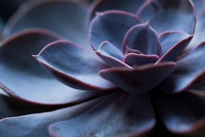 Succulent Plant in Close-up