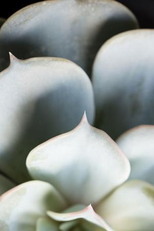 Succulent Plant Leaves in Close-up