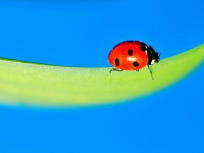 Ladybird on Daffodil Leaf by Pallab Seth