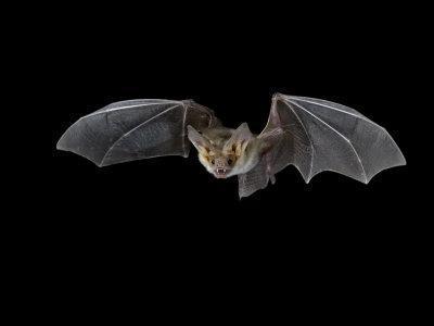 https://imgc.allpostersimages.com/img/posters/pallid-bat-in-flight-near-portal-arizona-usa_u-L-P7NSN40.jpg?p=0