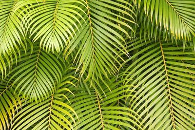 https://imgc.allpostersimages.com/img/posters/palm-leaves-maui-hawaii-usa_u-L-PN6T5Z0.jpg?p=0