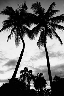 Palm Tree Silhouettes, Naples, Florida