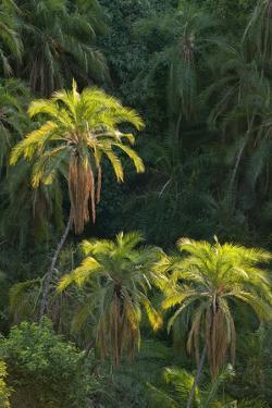 Palm Trees Along Zambezi River