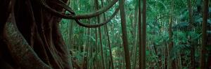 Palm Trees in a Forest, Mt Tamborine National Park, Queensland, Australia