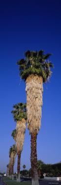 Palm Trees in a Row, Palm Springs, California, USA