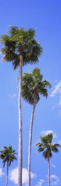 Palm Trees in Florida, USA