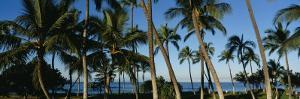 Palm Trees on the Beach, Hawaii, USA