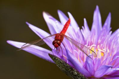 Red Dragonfly on purple flower  in Florida by Pam Winegar