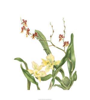 Orchid II by Pamela Shirley