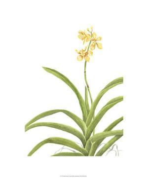 Orchid Study II by Pamela Shirley