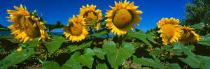 Panache Starburst Sunflowers in a Field, Hood River, Oregon, USA
