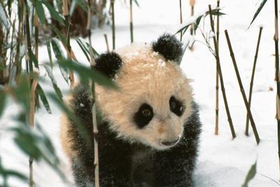 https://imgc.allpostersimages.com/img/posters/panda-cub-on-snow-wolong-sichuan-china_u-L-Q1HYLAA0.jpg?artPerspective=n
