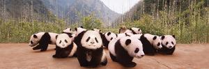 Panda Cubs Educational Poster