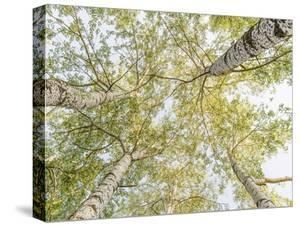 Birch woods in spring by Pangea Images