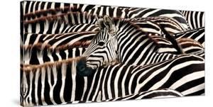 Herd of zebras by Pangea Images