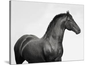 King Mamba, Stallion by Pangea Images
