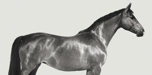 Kingsman Cavalier, English Thoroughbred by Pangea Images